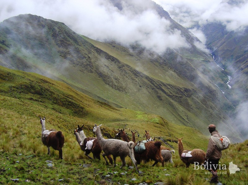 "Vegetación altoandina húmeda - ""Shepherding Llamas across the higher Andean regions within Madidi National Park"""